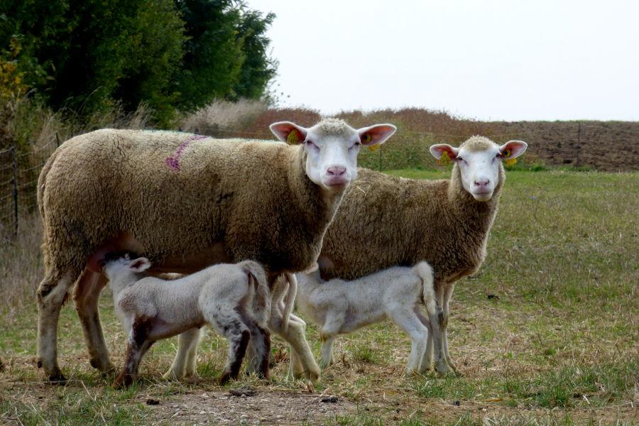 elevage d'agneau bio en Loir et Cher fournisseur de l'hôtel la Tonnellerie