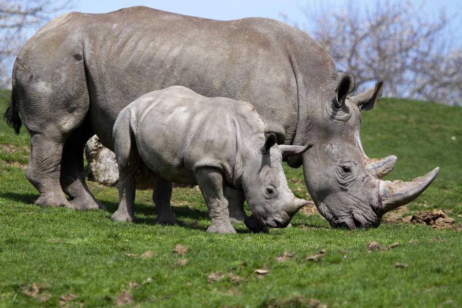 Bébé rhinoceros avec sa maman dans le zoo de beauval dans le Loir et Cher
