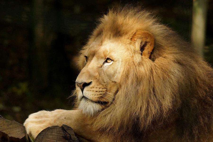 Lion au zoo de Beauval près de Blois dans le Val de Loire