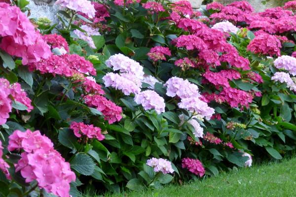 hortensias en fleurs dans le jardin de l'hôtel la Tonnellerie entre Orléans et Blois