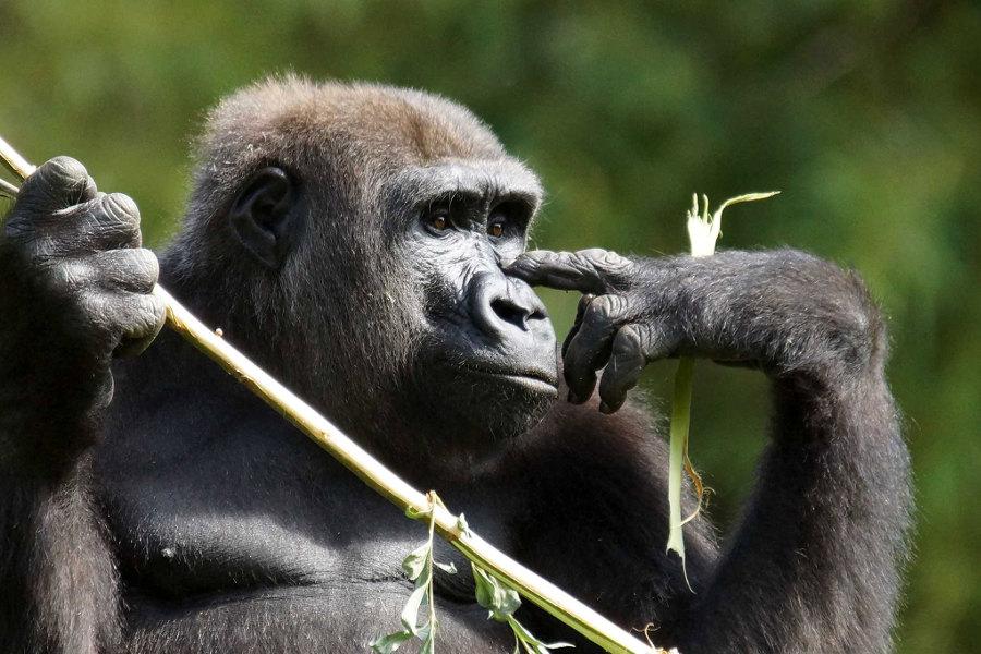 gorille au zoo de beauval à Saint Aignan sur Cher