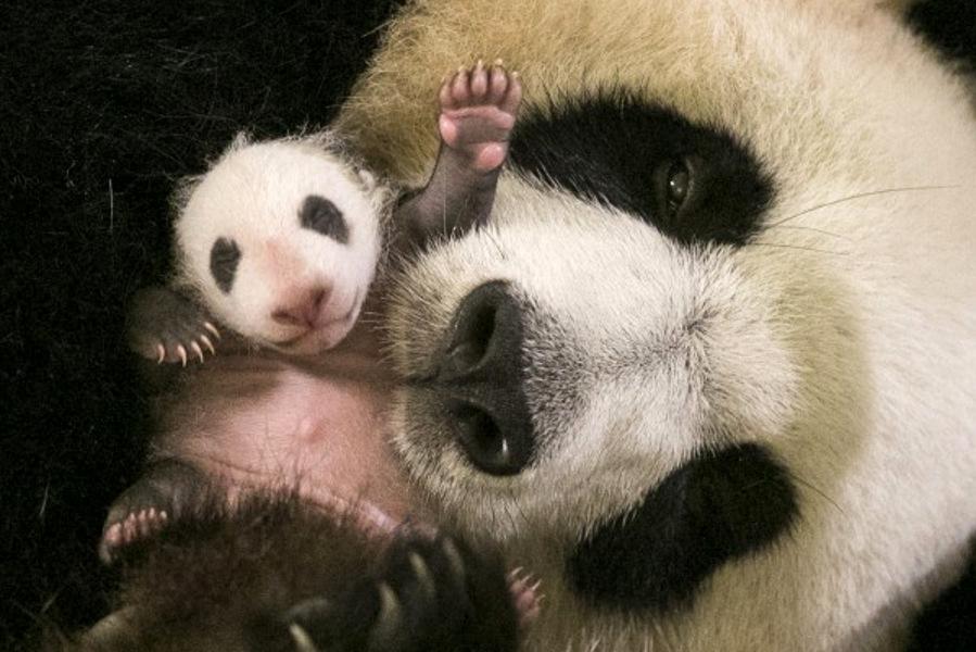 bébé panda et sa maman au zoo parc de beauval