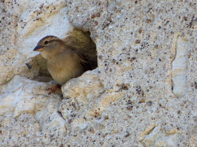 oiseau ayant fait son nid dans le mur de l'hotel la Tonnellerie entre Orléans et Blois