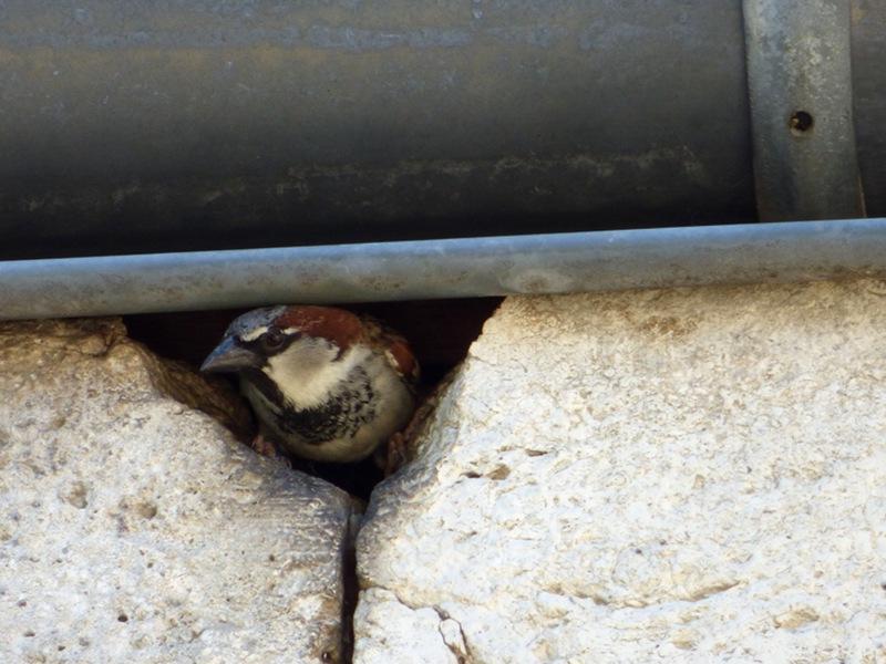oiseau installé sous la gouttière de l'hotel la Tonnellerie de Tavers dans la Val de Loire