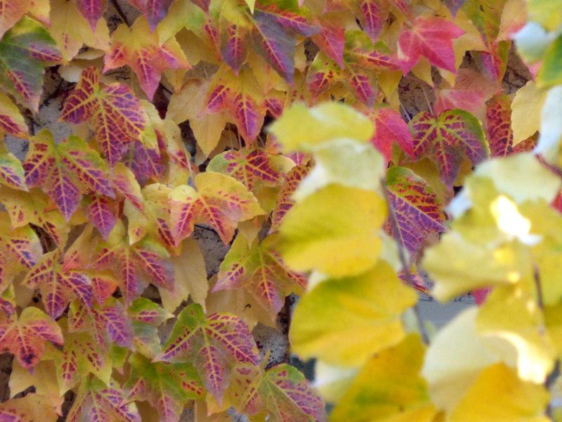 feuilles au couleurs automnales dans le jardin de l'hotel la Tonnellerie près du chateau de Chambord