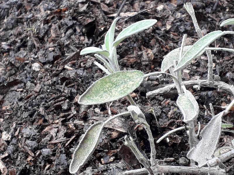 sauge dans le potager herbes aromatiques jardin de hotel ecolabel la tonnellerie dans la region des chateaux de la Loire