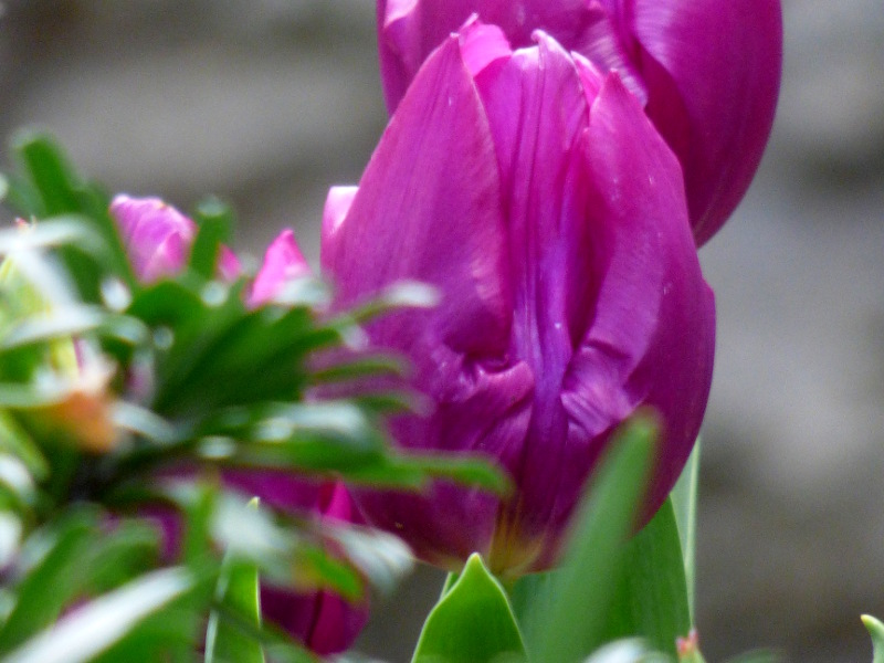 Tulipes dans la jardin de l'hotel ecolabel la TOnnellerie de Tavers près de Beaugency