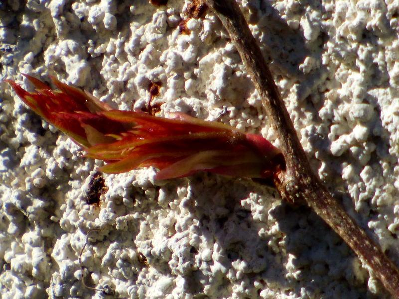 bourgeon éclos de vivne vierge sur les murs de hotel la Tonnellerie entre Orléans et Blois dans le Loiret