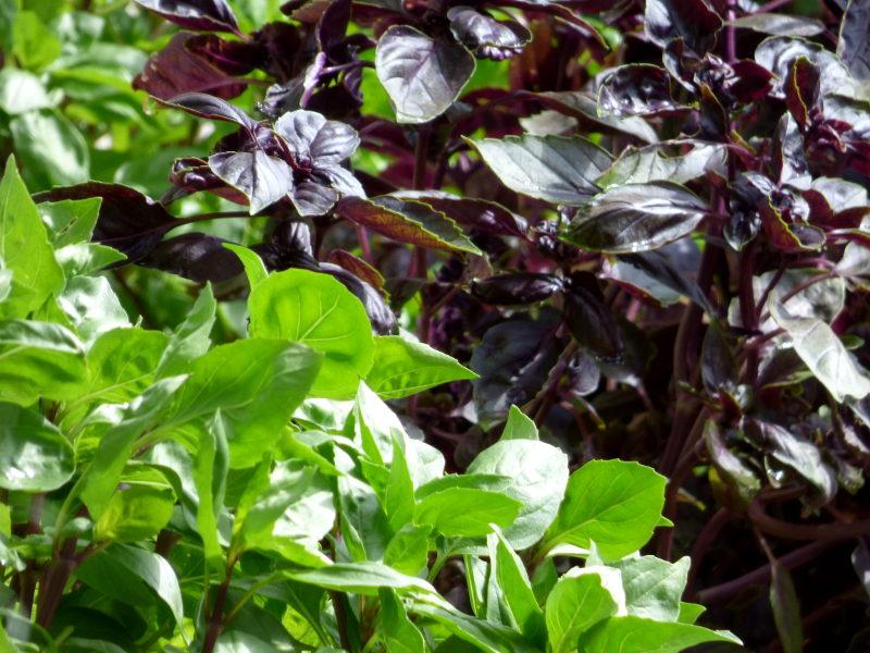 basilic dans le jardin herbes aromatiques de hotel ecolabel la tonnellerie dans la région des chateaux de la loire