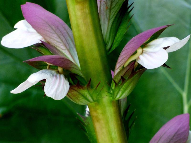 Fleur d'acanthe près de la terrasse de hotel ecolabel la Tonnellerie près du CHateau de Chambord entre Orléans et Blois