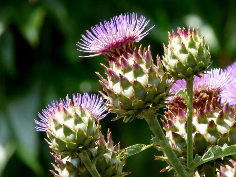 Fleurs d'artichaut dans le jardin de hotel la Tonnellerie de Tavers entre Orléans et Blois dans le Val de Loire