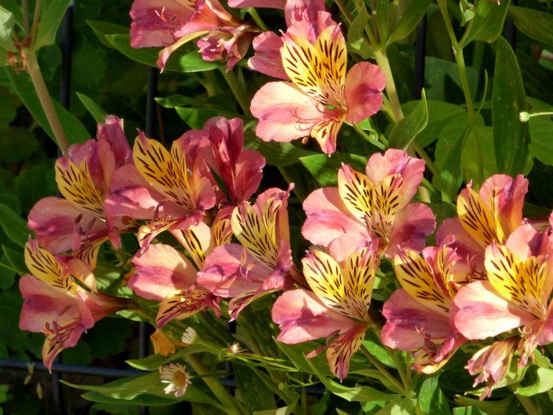 Massif de fleurs dans le jardin de hotel ecolabel la Tonnellerie près du chateau de Chambord dans le Loiret
