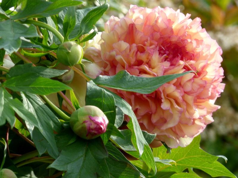 Fleur de pivoine arbustive auprès de la piscine de hotel la Tonnellerie près du Chateau de Chambord