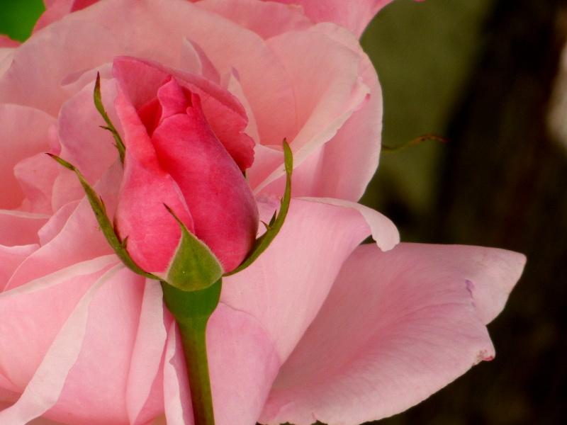 rose dans le jardin de hotel la tonnellerie de tavers près de Beaugency dans le Loiret
