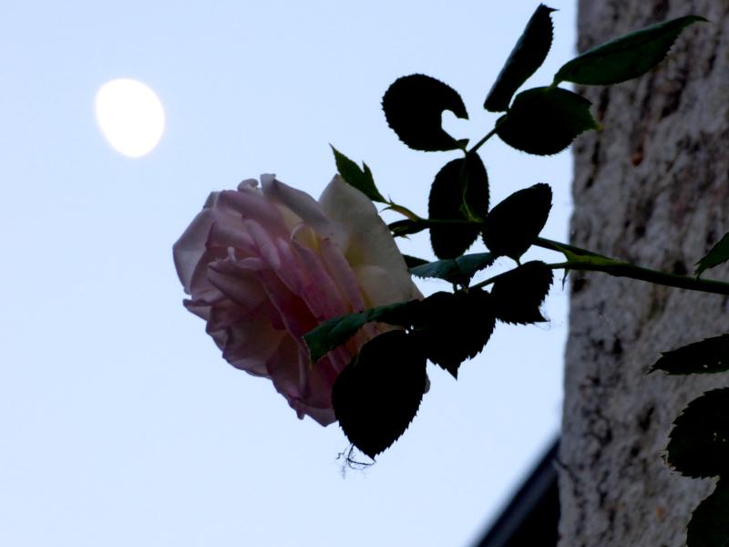 Rose devant la lune depuis le jardin de l'hotel ecolabel la Tonnellerie dans le Val de Loire