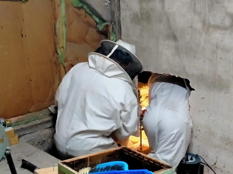 Les apiculteurs s'approchent de l'essaim par l'intérieur du bâtiment, dans les combles