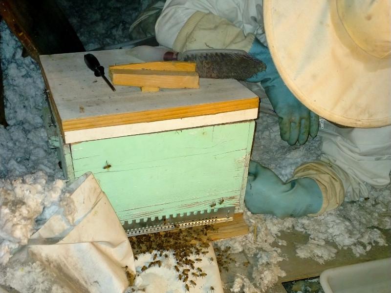 Les abeilles rejoignent la Reine à l'intérieur de la ruche temporaire